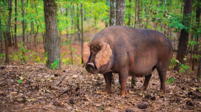 Frolona Farm animal