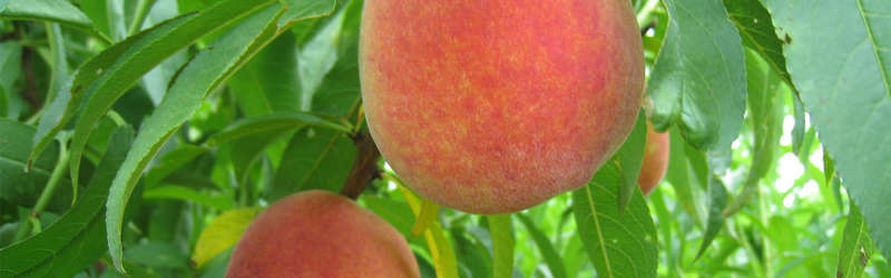 Join Chef Jeffrey Gardner at Georgia's first annual Smoke a Peach Festival