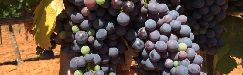 southern wine grapes